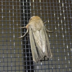 Leucania diatrecta (A Noctuid moth) at Conder, ACT - 1 Apr 2016 by michaelb