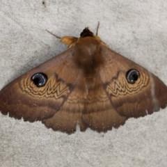 Dasypodia selenophora (Southern old lady moth) at Namadgi National Park - 5 Nov 2016 by HarveyPerkins