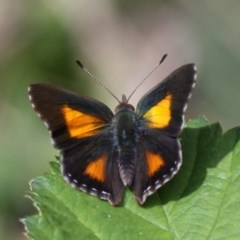 Paralucia aurifer (Bright Copper) at Lower Cotter Catchment - 23 Oct 2015 by HarveyPerkins