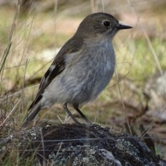 Petroica phoenicea (Flame Robin) at Red Hill Nature Reserve - 12 Aug 2017 by roymcd