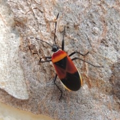 Dindymus versicolor (Harlequin bug) at Conder, ACT - 13 Apr 2015 by michaelb