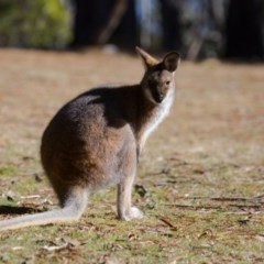 Macropus rufogriseus (Red-necked Wallaby) at Namadgi National Park - 12 Aug 2017 by SallyandPeter