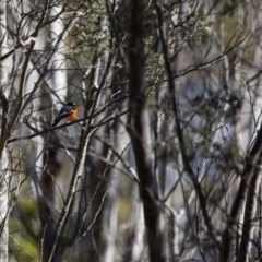 Petroica phoenicea (Flame Robin) at Brindabella National Park - 12 Aug 2017 by SallyandPeter