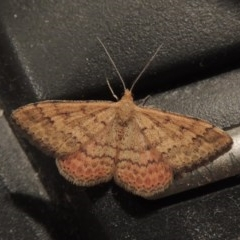 Scopula rubraria (Reddish Wave) at Conder, ACT - 17 Apr 2016 by michaelb