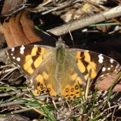 Vanessa kershawi (Australian Painted Lady) at Red Hill Nature Reserve - 14 Aug 2017 by roymcd