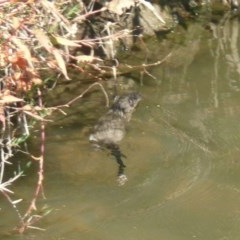 Hydromys chrysogaster (Rakali or Water Rat) at Umbagong District Park - 4 May 2011 by Christine