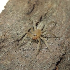 Clubiona sp. (genus) (Unidentified Stout Sac Spider) at Conder, ACT - 29 Jul 2016 by michaelb