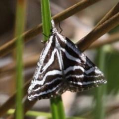 Dichromodes confluaria (Ceremonial Heath Moth) at Gibraltar Pines - 27 Nov 2016 by HarveyPerkins