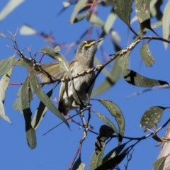 Caligavis chrysops (Yellow-faced Honeyeater) at ANBG - 19 Aug 2017 by Alison Milton