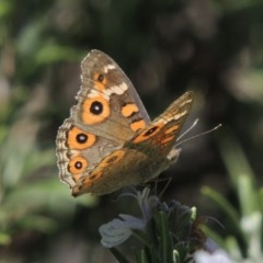 Junonia villida (Meadow Argus) at Conder, ACT - 7 Feb 2015 by michaelb