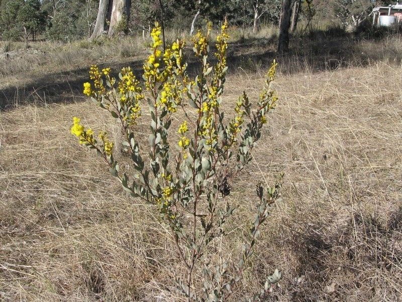Acacia buxifolia subsp. buxifolia at Gang Gang at Yass River - 19 Aug 2017