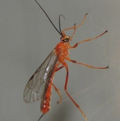 Netelia sp. (genus) (An Ichneumon wasp) at Conder, ACT - 9 Mar 2015 by michaelb