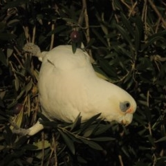 Cacatua sanguinea (Little Corella) at Conder, ACT - 6 Jul 2017 by michaelb