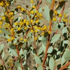 Acacia buxifolia subsp. buxifolia (Box-leaf Wattle) at Isaacs, ACT - 21 Aug 2017 by Mike