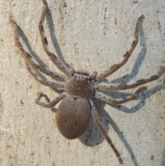 Isopeda sp. (genus) (Huntsman Spider) at Conder, ACT - 8 Aug 2016 by michaelb