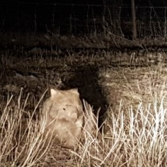 Vombatus ursinus (Wombat) at Belconnen, ACT - 25 Aug 2017 by NathanaelC