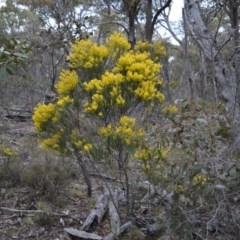 Acacia boormanii (Snowy River Wattle) at Bolaro, NSW - 7 Oct 2016 by DavidMcKay