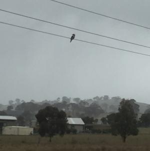 Dacelo novaeguineae at Royalla, NSW - 27 Aug 2017