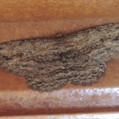 Ectropis excursaria (Common Bark Moth) at Conder, ACT - 16 Feb 2015 by michaelb