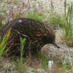 Tachyglossus aculeatus (Short-beaked Echidna) at ANBG - 27 Nov 2010 by Christine