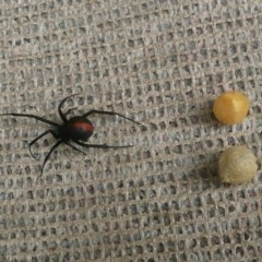Latrodectus hasselti (Redback Spider) at Flynn, ACT - 9 Dec 2010 by Christine