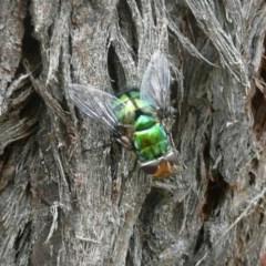 Rutilia (Chrysorutilia) sp. (genus & subgenus) (A Bristle Fly) at Lake Ginninderra - 26 Dec 2010 by Christine