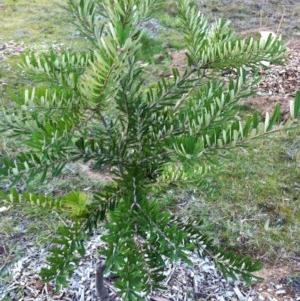 Banksia marginata at Hughes Garran Woodland - 22 Aug 2017