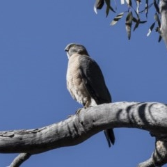 Accipiter cirrocephalus (Collared Sparrowhawk) at ANBG - 27 Aug 2017 by Alison Milton