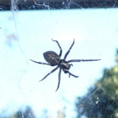 Badumna insignis (Black House Spider) at Flynn, ACT - 15 May 2011 by Christine