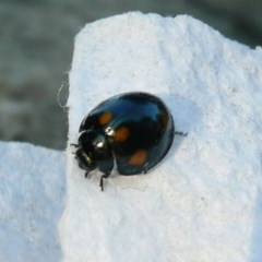 Orcus australasiae (Orange-spotted Ladybird) at Belconnen, ACT - 5 Aug 2011 by Christine