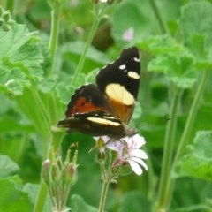 Vanessa itea (Yellow Admiral) at ANBG - 27 Nov 2010 by Christine