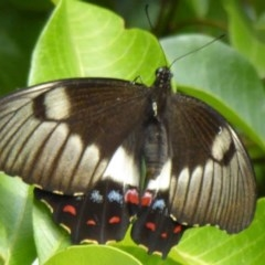 Papilio aegeus (Orchard Swallowtail) at ANBG - 11 Feb 2015 by Christine