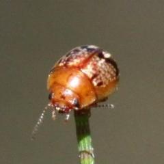Paropsides umbrosa (A leaf beetle) at Cotter Reserve - 18 Dec 2016 by HarveyPerkins