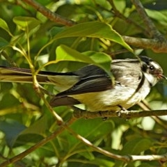 Rhipidura albiscapa (Grey Fantail) at Brogo, NSW - 1 Sep 2017 by MaxCampbell