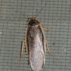 Calolampra sp. (genus) (Bark cockroach) at Conder, ACT - 16 Oct 2015 by michaelb