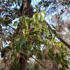 Brachychiton populneus subsp. populneus (Kurrajong) at Symonston, ACT - 2 Sep 2017 by Mike