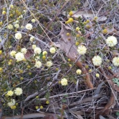 Acacia gunnii (Ploughshare Wattle) at Little Taylor Grasslands - 2 Sep 2017 by RosemaryRoth