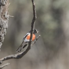Petroica boodang (Scarlet Robin) at Mulligans Flat - 2 Sep 2017 by Alison Milton