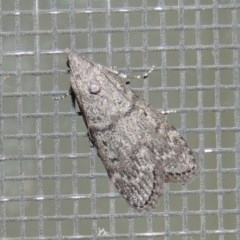 Heteromicta pachytera (Pyralid moth) at Conder, ACT - 26 Feb 2015 by michaelb