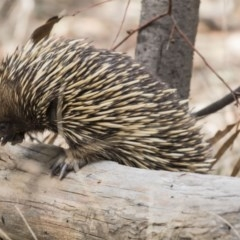 Tachyglossus aculeatus (Short-beaked Echidna) at Mulligans Flat - 3 Sep 2017 by Alison Milton