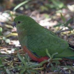 Alisterus scapularis (Australian King-Parrot) at ANBG - 30 Aug 2017 by Alison Milton