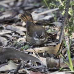Sericornis frontalis (White-browed Scrubwren) at ANBG - 28 Aug 2017 by Alison Milton