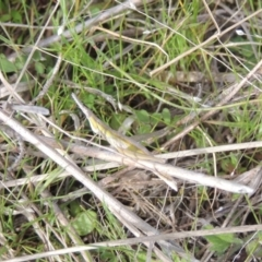 Keyacris scurra (Key's Matchstick Grasshopper) at Conder, ACT - 9 Sep 1999 by michaelb