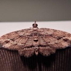 Chloroclystis filata (Filata Moth, Australian Pug Moth) at Cook, ACT - 1 Sep 2017 by CathB
