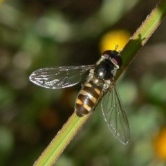 Melangyna sp. (Hover Fly) at Brogo, NSW - 21 Apr 2005 by JackieMiles