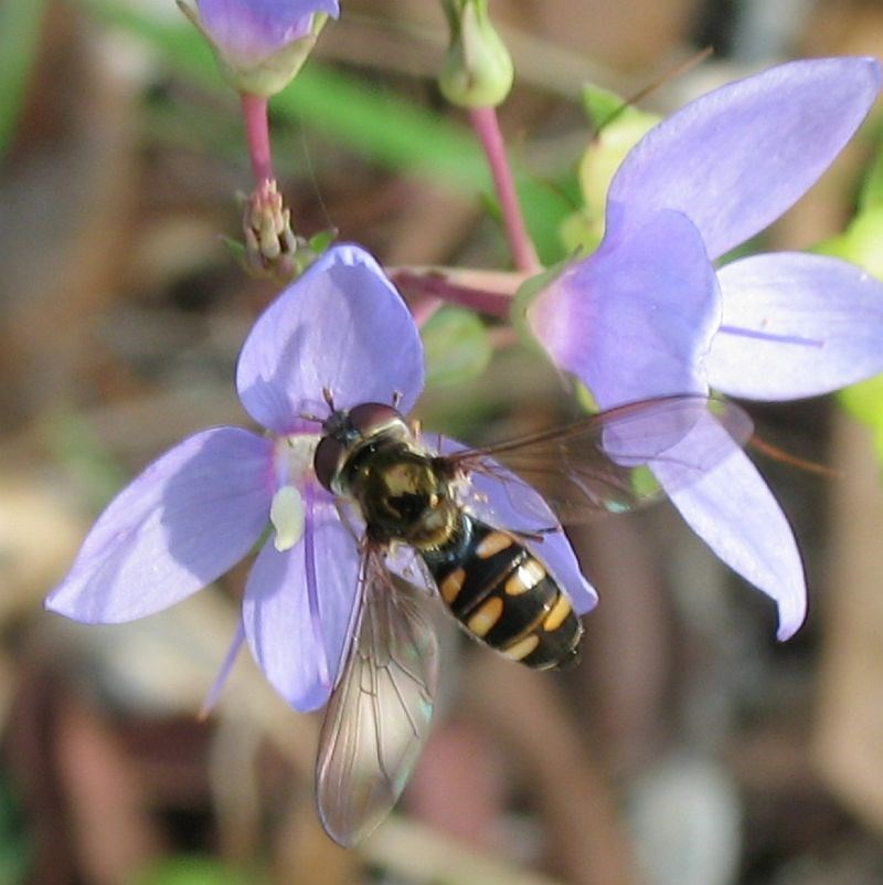 Melangyna sp. at Brogo, NSW - 26 Apr 2008