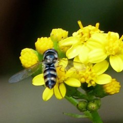 Melangyna sp. (Hover Fly) at Brogo, NSW - 1 Jan 2017 by JackieMiles
