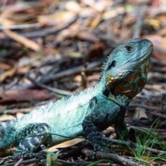 Intellagama lesueurii (Eastern Water Dragon) at ANBG - 4 Jan 2017 by AlexSof
