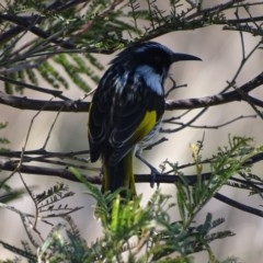 Phylidonyris niger X novaehollandiae (Hybrid) (White-cheeked X New Holland Honeyeater (Hybrid)) at Jerrabomberra Wetlands - 8 Sep 2017 by roymcd