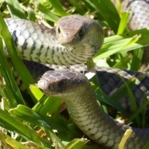 Pseudonaja textilis at Jerrabomberra Wetlands - 27 Sep 2015